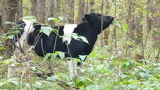 Неожиданная встреча в лесу. Марта на радостях наелась какашек