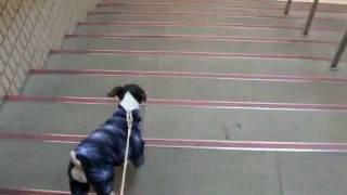 ただ、階段を下りている動画。 以前は、つなぎ服を着せると歩かなかった...