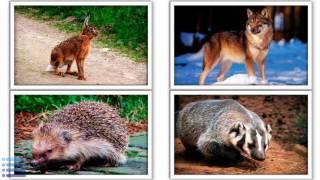Учим животных 2. Животные смешанных лесов.