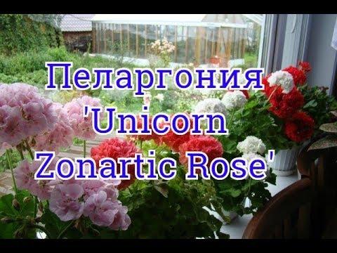 Герань.уникальный способ выращивания.Пеларгония 'Unicorn Zonartic Rose' Самый уникальный сорт .