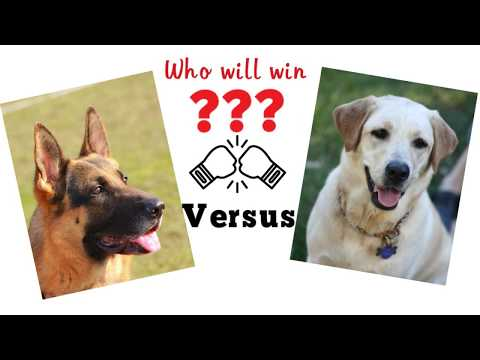 German shepherd vs Labrador. Dog comparidon based on 33 criteria