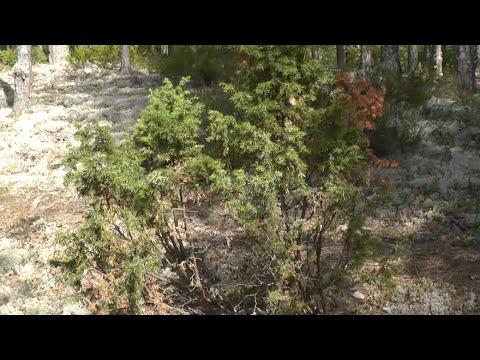 Дерево можжевельник: фото, сорта и виды