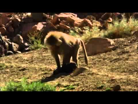 Baboons kidnap and raise feral dogs as pets