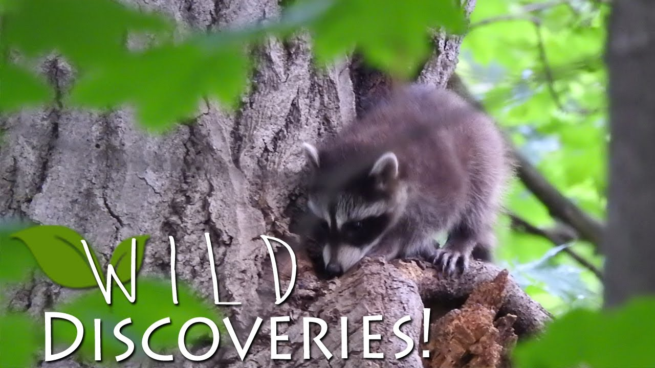 baby raccoons in my backyard u2022 wild discoveries youtube