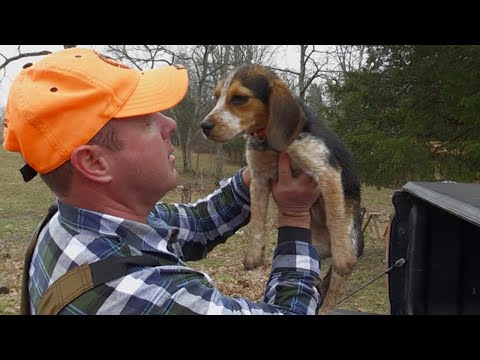 Training Checkers - Getting A Beagle Puppy Ready For Rabbit Season