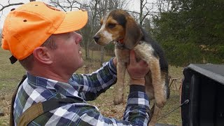Training Checkers  Getting a Beagle Puppy Ready for Rabbit Season