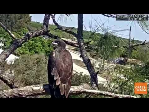 This baby bald eagle is growing up really fast in Florida!