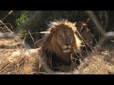 Ethiopia's iconic black-maned lions fading fast
