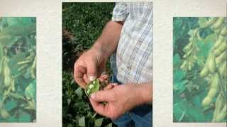 Butterbean Seeds - Grow your own beans at home! - Glycine Max Seeds