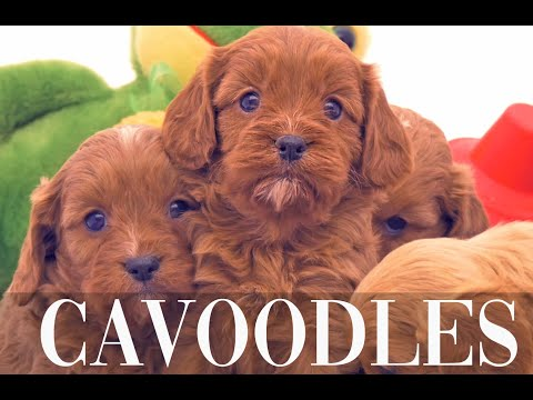 Cavoodles