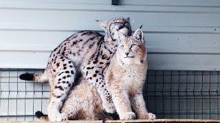 К БОЛЬШИМ КОШКАМ ПРИШЛА ВЕСНА. Будут ли от наших рысей котята?