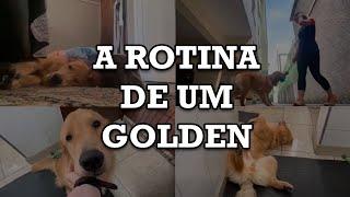 Vlog de rotina: UM DIA NA VIDA DE UM GOLDEN RETRIEVER   Kodak O Golden