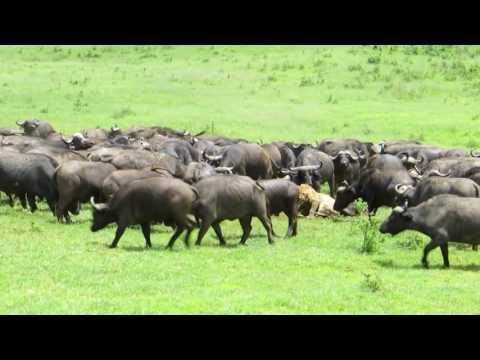 Wildlife of lions   Animal world full movie hd   Lion vs Buffalo  1080 X 1920