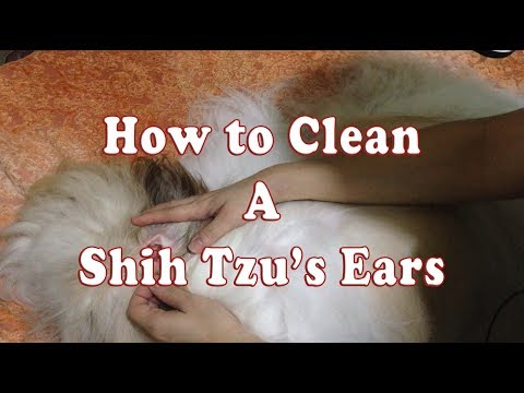 Shih Tzu Grooming: How to Clean a Shih Tzu's Ears