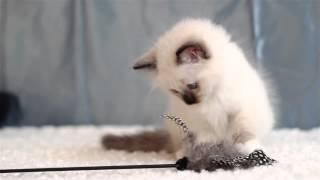 Estelle (питомник кошек marikota.com)