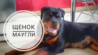 ЩЕНОК-МАУГЛИ.Разбираем видео.Воспитание и дрессировка собак
