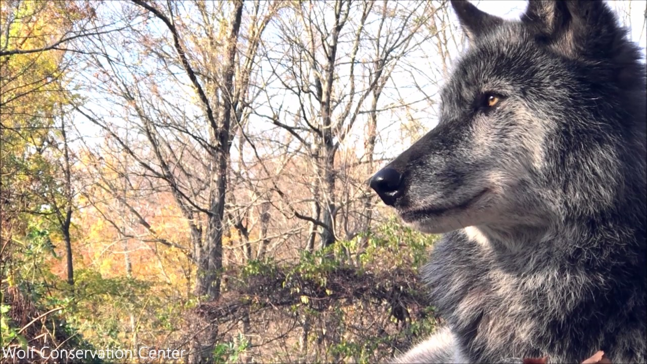 Black Wolf Beauty