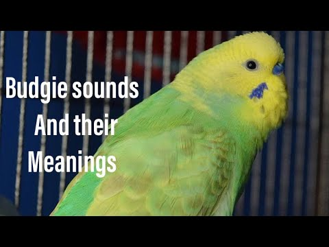 Budgie sounds and their meaninngs