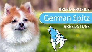 German Spitz [2020] Breed, Temperament & Training
