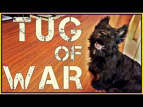 MacDuff The Scottish Terrier Loves Tug of War