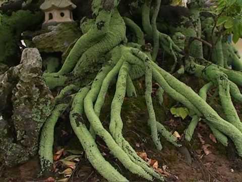 cây khế cảnh tuyệt đẹp