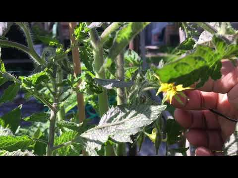 Shokher Bagan How To Pollinate Tomatoes By Hand
