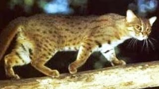 Rare Rusty-spotted cat (Prionailurus rubiginosus) Live only in Gir forest Gujarat INDIA