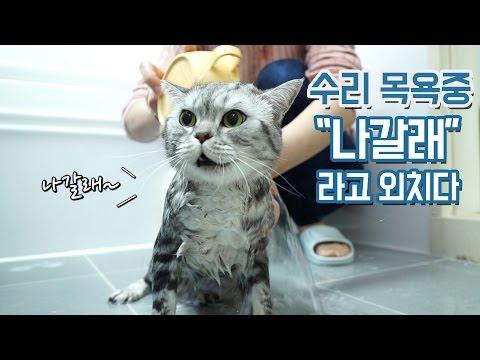 '나갈래' 말하는 고양이 수리 목욕하다