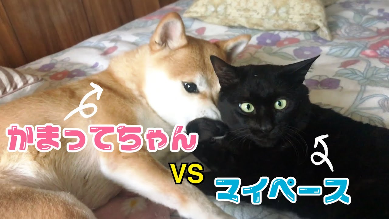 犬のかまって攻撃を受け止めつつ毛づくろいも遂行する猫 Dog bother a grooming cat