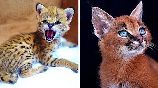12 Rarest Cat Breeds In The World