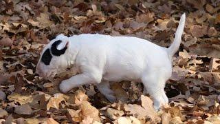 I GOT A NEW PUPPY! (Bull Terrier)