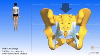 L'articulation sacro-iliaque