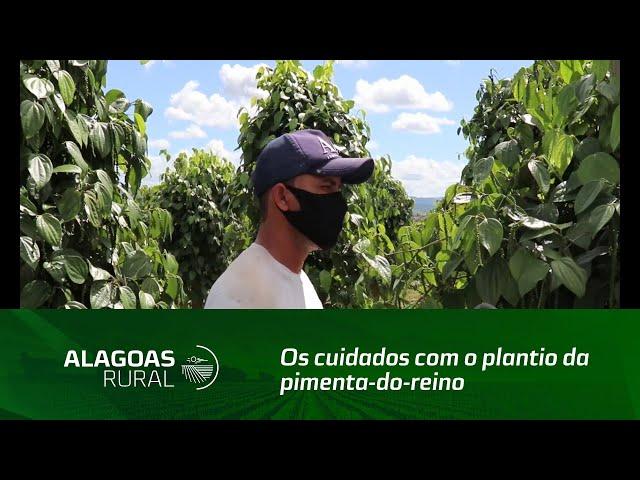 Segunda reportagem sobre os cuidados com o plantio da pimenta-do-reino