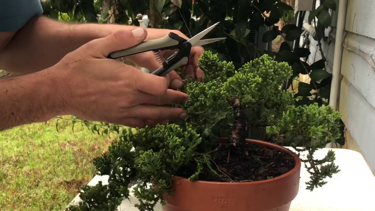 Pre Bonsai From Nursery Stock Juniper Youtube
