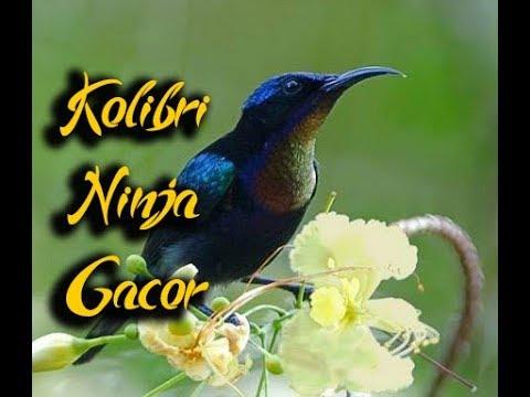 kicau-burung-kolibri-ninja-gacor-+-ngebrennn-~-@kicau-burung