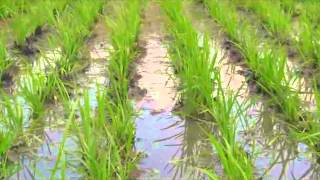 Using the Rotary Weeder in Lowland Rice