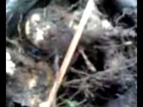 У нас можно купить корень диоскореи кавказской собранный вручную на кавказе. Узнать от применении и приготовлении настойки из этой травы, прочитать отзывы.