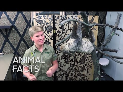 Thumbnail: Animal Facts with Robert Irwin: Two-Toed Sloth