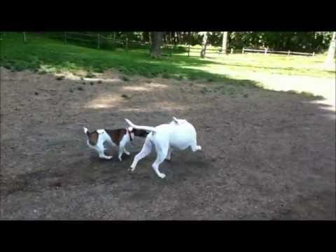 Jack russell Terrier v.s. Pitbull/boxer mix TUG OF WAR!!!!!!!!!!