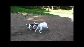 Jack Russell Terrier V.s. Pitbull/boxer Mix Tug Of War!!!!!!!!!!