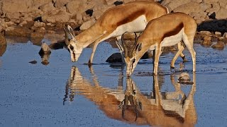 Crocodile attacks gazelle / هجمات التماسيح غزال