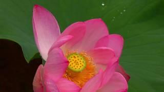 蓮の花が咲く梅雨の大雲寺・4K撮影