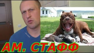 Про супер породу Ам Стафф , как надо кормить собаку??? и намордник на собаке убийце