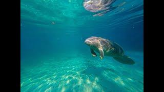 Плавание с ламантинами в Кристал Ривер / Swimming with Manatees at Crystal River