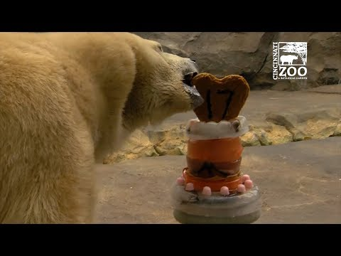 This Polar Bear is Chowing Down on his Animal-Friendly Birthday Cake