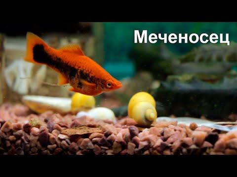 Меченосец - одна из самых неприхотливых аквариумных рыбок, содержание, уход, разведение.