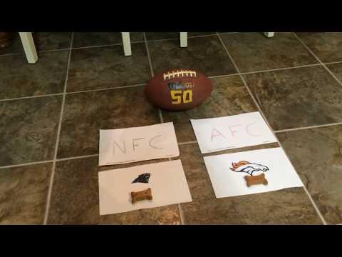 Border Collie Predicts Super Bowl 50 Winner