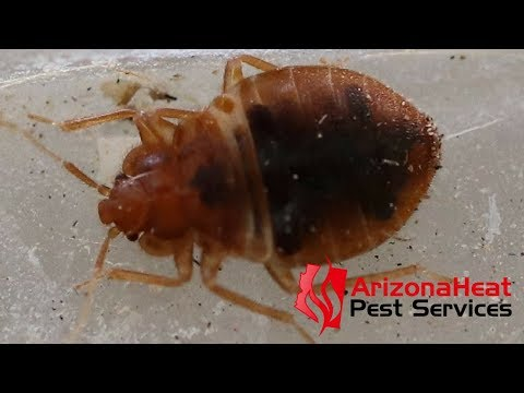 Phoenix Bed Bug Exterminator | Arizona Heat Pest Services