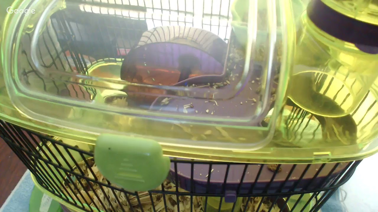 Live hamster cam