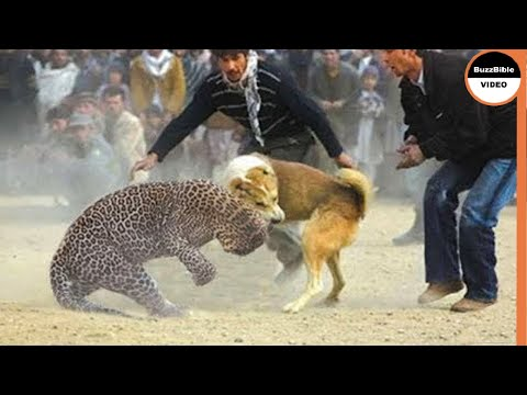 BATTLE BETWEEN A DOG AND A LEOPARD, WHO WILL WIN ?